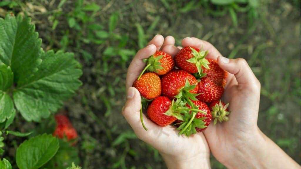 A woman's hand holding strawberries that she has just picked: one of the couple's anniversary ideas in this post.