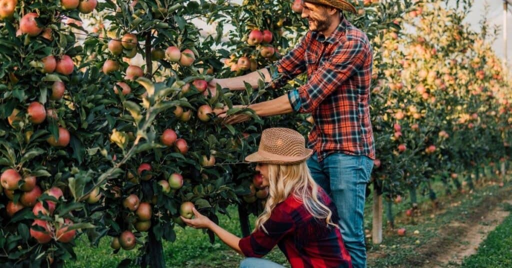 Couple picking apples together